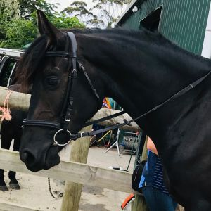 Horse for sale: Crystal Mt Crusada - Young Friesian Sporthorse