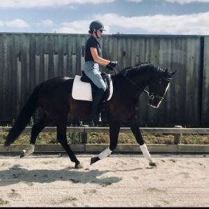 Olympic Ability Holsteiner Warmblood by Cassini D'Eclipse