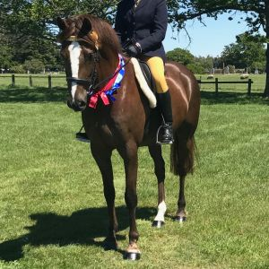 Horse for sale: Talented Welsh/tb Gelding