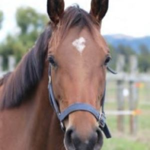 Horse for sale: Youngstock for Sale - Windale Trumps Filly