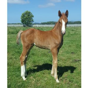 Weanling Colt by Windale Trumps (Distelfink) x TB