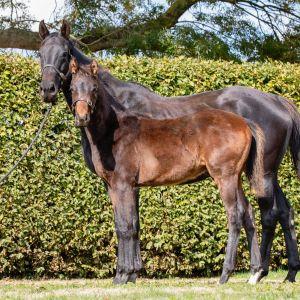 Horse for sale: Premium Hanoverian Furstenball colt