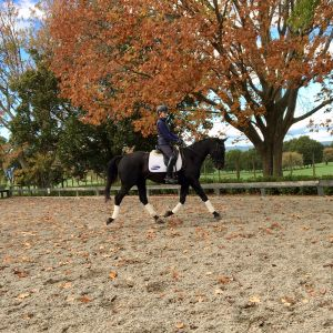 Horse for sale: 6yr Mare   GT Jake x Anamour