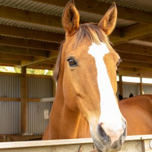 Horse for sale: Horse For Sale - Experienced Hunter and Multi Purpose PC Mount