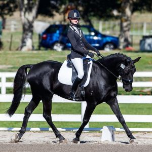 Horse for sale: Black Hanoverian x Gelding