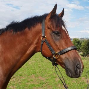 Horse for sale: Super Cute Shingko King