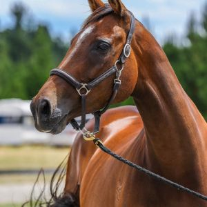 Horse for sale: Royale Sweet Addition