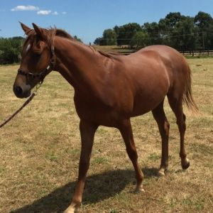 Horse for sale: Yearling- Future Superstar