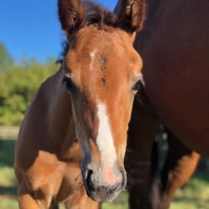 Horse for sale - Stunning Filly by Chacco Silver