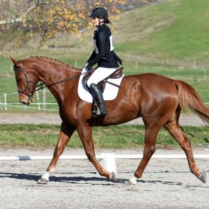 Striking Lansing Gelding