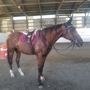 Horse for sale: six years jumping first-class standardbred horse