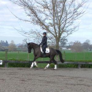 Horse for sale: 5yrs Dream Boy x Dynamit Gelding