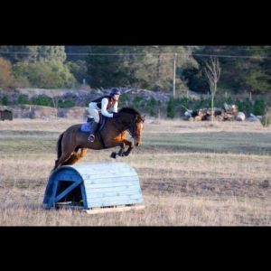 Horse for sale: Talented Clydie x