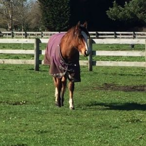 Horse for sale: Star in the Making - Quarter Horse Gelding