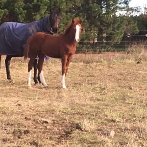 Horse for sale: Stunning Future SJer with bling - ES Heartbreaker/Voltaire lines