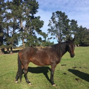 Horse for sale: Bay broodmare Coolicky