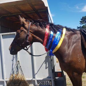 Horse for sale: Super Talented allrounder