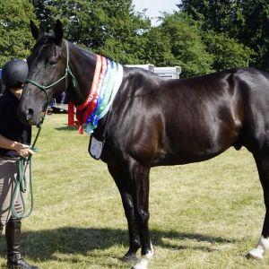 Horse for sale: SB - Franco Nate