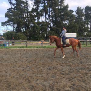 Horse for sale: Quiet chestnut mare
