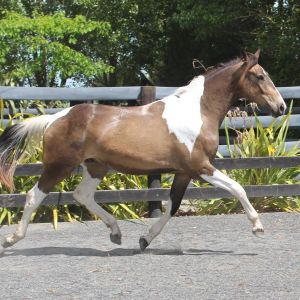 Starry Warmblood Youngster