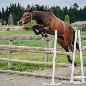 Horse for sale: Eventing, Dressage or Showing....