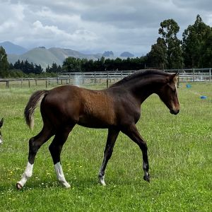 Horse for sale: Colt Imported bloodlines from top Stallion and Sport european mare family