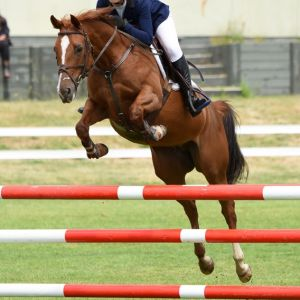 Stylish Multi Talented Park Hack - Outstanding Pony Club Champs prospect.