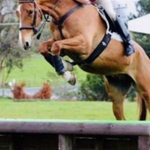 Horse for sale: Hunter Prospect