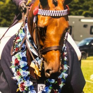 Horse for sale: Successful Thoroughbred Park Hack