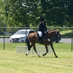 Horse for sale: Show horse ready to start professional career