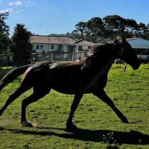 Horse for sale: Black Standardbred