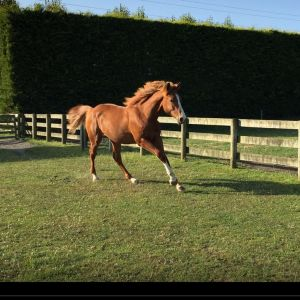 Horse for sale: ANDRETTI YEARLY,  DOB 25th October 2018