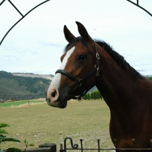 Horse for sale: Cachassini 11 x Voltaire 11 mare stunning 3 year old mare