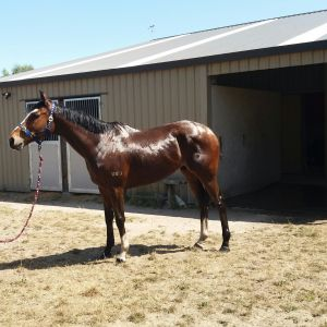 Horse for sale: International Thoroughbred Retirement (Taupo)