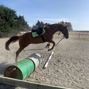 Horse for sale: 16h OTTB by More Than Ready