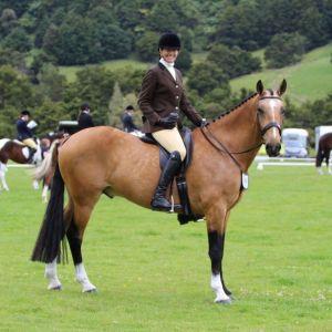 Horse for sale: Gorgeous Allrounder - Showtym Titan