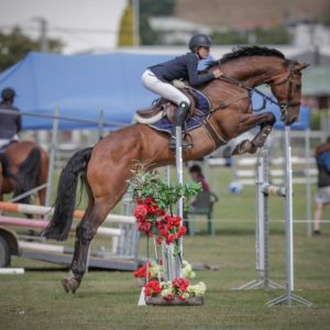Horse for sale: Talented Junior / Amateur Rider gelding - 16.3hh