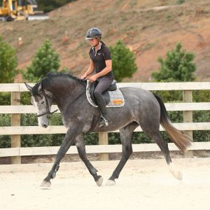 Horse for sale: Stunning Cassiano 3 Year Old Mare