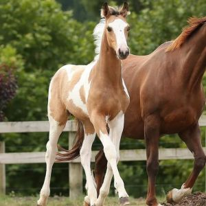 Horse for sale: Stunning Buckskin and White Warmblood Colt