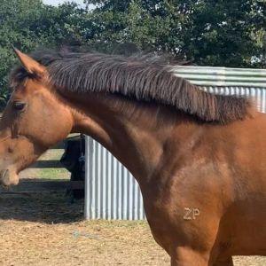 Horse for sale: Bellwood Balenciaga