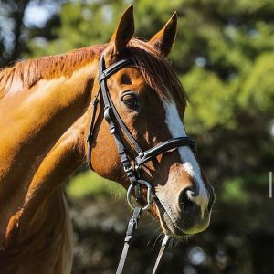 Horse for sale: STUNNING Genuine All-Rounder