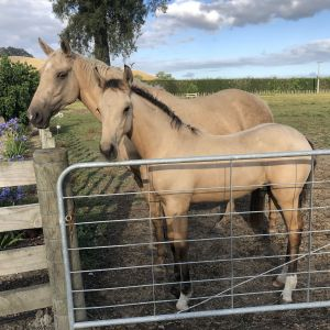 Horse for sale: Sweet Mare & Foal Package