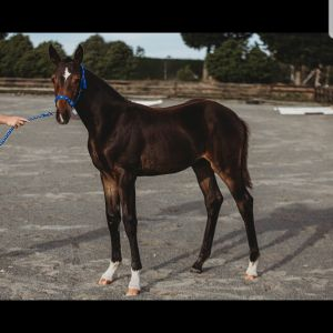 Horse for sale: Centavos/gym bello filly