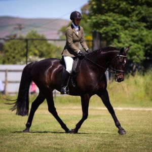 Horse for sale: Stunning Lessing Gelding