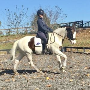 Horse for sale: Perfect Gentleman Allrounder