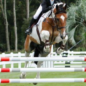 Horse for sale: Zig Zag - show hunter/show jumper