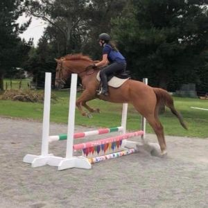 Horse for sale: OTTB lovely 16HH gelding