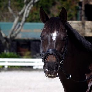 Horse for sale: Beautiful Gymnastik Star Mare