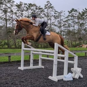 Horse for sale: Big Blingy Gelding - 1.30m Show Jumper and Pre Novice Eventer