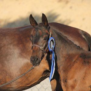 Horse for sale: Stunning Dressage Prospect